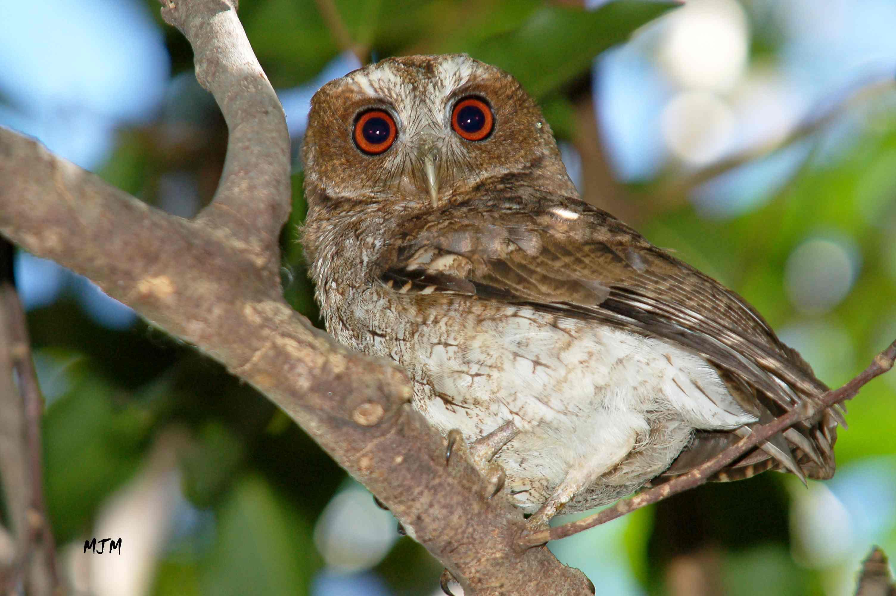 Owl - Screech